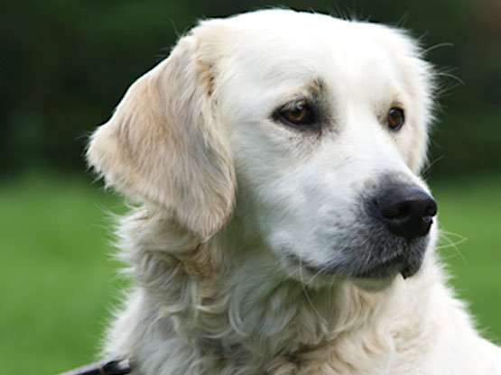 Golden Retriever Trained Dogs For Sale Uk
