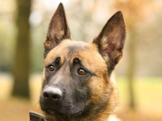 Fully Trained Malinois For Sale, Meet Bailey Our Malinois